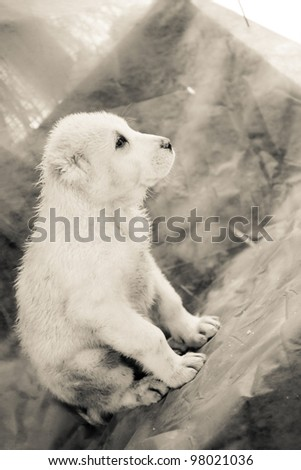 White central asian puppy