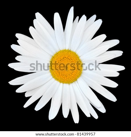 White Chamomile Daisy Flower with Yellow Center Isolated