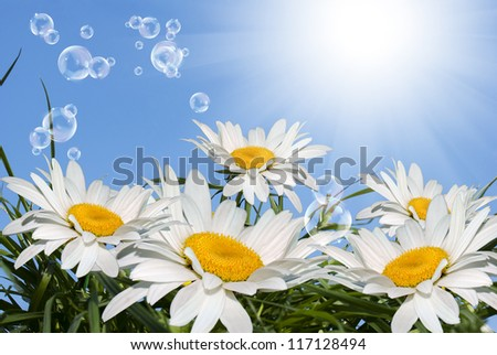 White chamomile field in the green grass.Spring