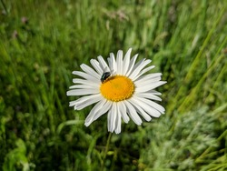 White chamomile flower with a fly sitting on it against a background of green grass