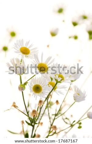 White chamomile on white background - stock photo