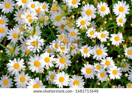 white chamomiles on green grass background. Oxeye daisy, Leucanthemum vulgare, Daisies, Dox-eye, Common daisy, Dog daisy, Moon daisy. Gardening concept.