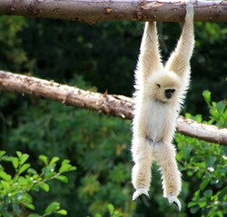 White-Cheeked Gibbon hanging on the tree branch.