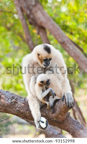 White Cheeked Gibbon or Lar Gibbon with Family