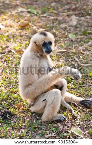 White Cheeked Gibbon or Lar Gibbon with Family