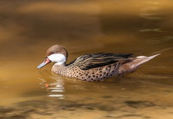 White cheeked Pintail in a lake