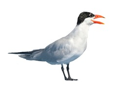White-cheeked tern isolated on white background. A seagull photographed on the Red Sea coast in Egypt.