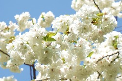 White cherry blossom.