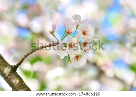 white cherry blossom blooming