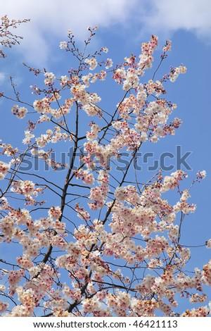 stock-photo-white-cherry-blossoms-on-a-tokyo-cherry-tree-aka-yoshino-cherry-prunus-x-yedoensis-against-a-46421113.jpg