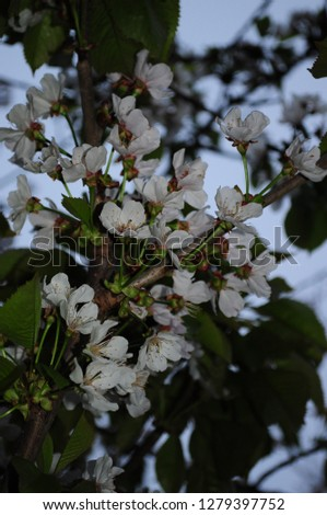 White cherry blossoms on tree branches with green leaves. Blue filter photo in the dusk. Spring blooming season. Beauty of nature in springtime. Blossoming of orchard trees.