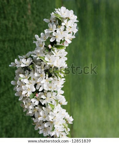 White cherry cluster for nature background