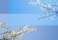 White cherry tree blossoms in spring garden, background blue sky and bokeh, free space for your design