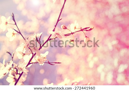 White cherry tree flower in spring. Vintage picture.