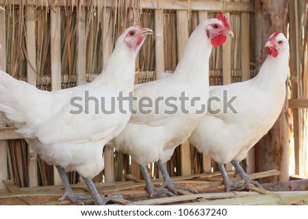 white chicken.