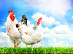 White chicken and white rooster standing on a green grass against sky.