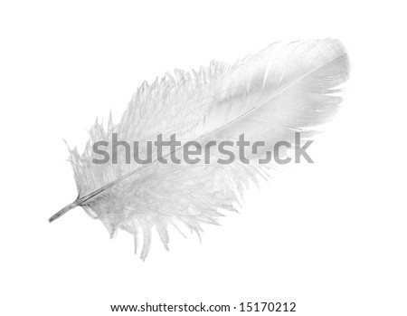 white chicken feather isolated on white background