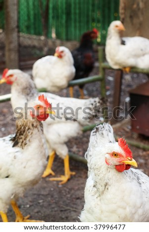 White chicken head with selective focus and a bunch of blurred hens