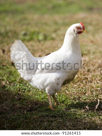 White chicken hen on grass near the edge of a shadow