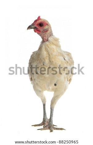 White chicken walking, isolated on white background - stock photo