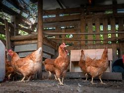 white chickens  inside a farmyard