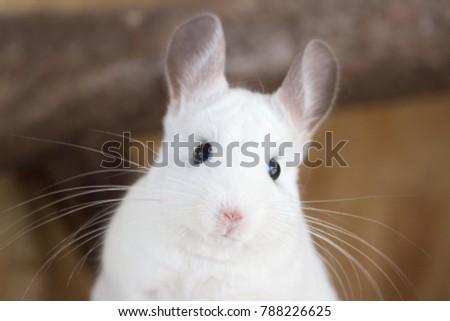 white chinchilla with long whiskers (chinchillidae - white ebony piebald) - Shutterstock ID 788226625