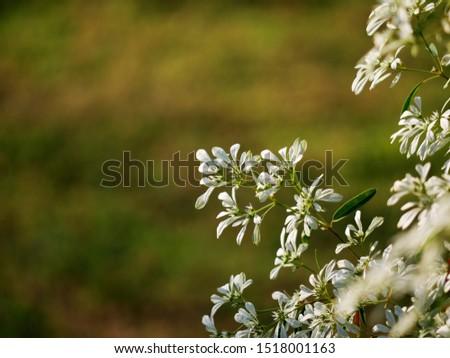 Christmas Bush Tea.Shutterstock Puzzlepix