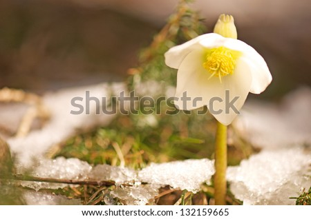 white christmas rose growing out of a snowy forest floor