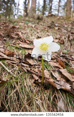 white christmas rose (Helleborus niger) in the forest