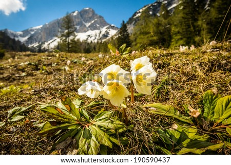 White christmas rose (Helleborus niger) with mountains in background.Slovenia.