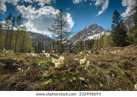 White christmas rose (Helleborus niger) with mountains in background.Slovenia .