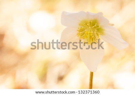 white christmas rose on a soft bright background