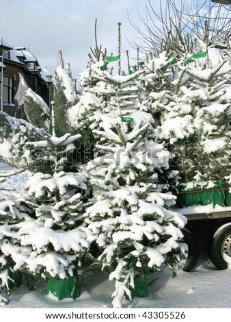 White Christmas trees for sale