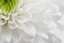 White chrysanthemum close up. Macro image with small depth of field.