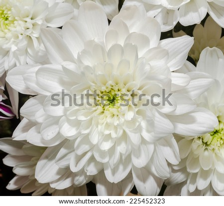 White chrysanthemum flower close up ez canvas white chrysanthemum flower close up mightylinksfo