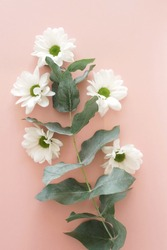 white chrysanthemum flowers and eucalyptus leaves  top view on pink background.  floral card, poster.