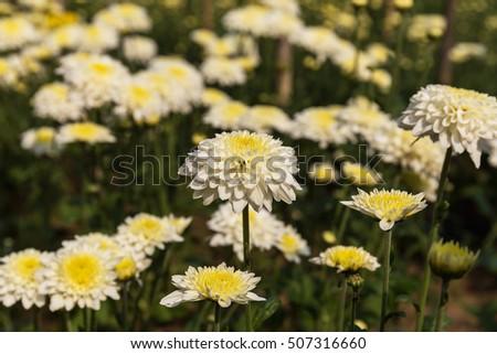 White chrysanthemum flowers in farm selective focus ez canvas white chrysanthemum flowers in farm selective focus mightylinksfo