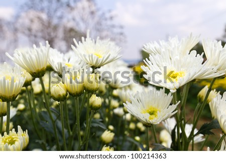 White chrysanthemum  flowers in garden