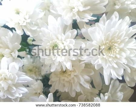White chrysanthemum in a flower shop a bouquet of chrysanthemums white chrysanthemum in a flower shop a bouquet of chrysanthemums chrysanthemum flower mightylinksfo