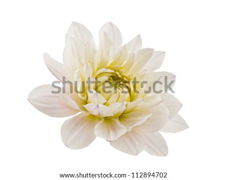 white chrysanthemum isolated on white background
