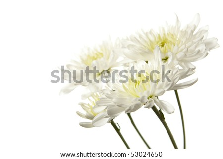 White Chrysanthemum Isolated on White Background. Studio lit and isolated