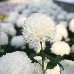 White Chrysanthemum morifolium flower with leaves