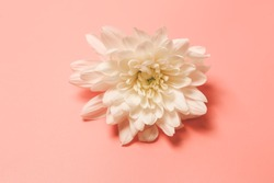 White chrysanthemum on a pink retro background. toned photo. floral background