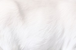 White Clean Soft Fluffy Animal Fur