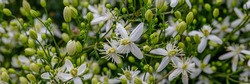 White Clematis flammula fragrant blossoms, banner. Beautiful white flowers of Clematis fragrant virgin's bower in garden