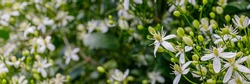 White Clematis flammula fragrant flowers, banner. Beautiful summer blooms of Clematis fragrant virgin's bower in garden