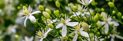 White Clematis flammula fragrant flowers, banner. Beautiful white blooms of Clematis fragrant virgin's bower in sunny garden