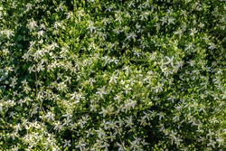 White Clematis flammula fragrant flowers, wallpaper background. Many white blooms of Clematis fragrant virgin's bower in summer