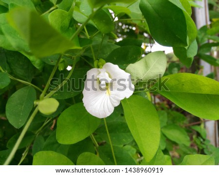 White Clitoria ternatea blooming in nature, commonly known as Asian pigeonwings, bluebellvine, blue pea, butterfly pea, cordofan pea and Darwin pea. Natural background