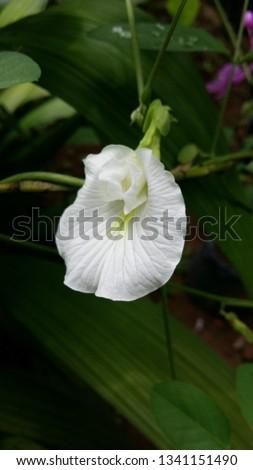 White Clitoris in South Asia